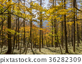 maple, yellow leafe, trees 36282309