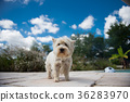 Portrait of a happy maltese dog  36283970