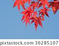 ฤดูใบไม้ร่วง,ต้นเมเปิล,ท้องฟ้าเป็นสีฟ้า 36285107