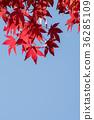 ฤดูใบไม้ร่วง,ต้นเมเปิล,ท้องฟ้าเป็นสีฟ้า 36285109