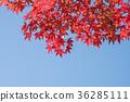 ฤดูใบไม้ร่วง,ต้นเมเปิล,ท้องฟ้าเป็นสีฟ้า 36285111