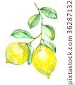 Watercolor lemon branch 36287132