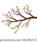 sakura cherry blossom flower leaf tree branch 36290215