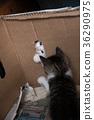 玩耍中的小猫 36290975