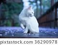 猫 猫咪 小猫 36290978