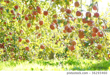 """Autumn taste! The apple """"Fuji""""-2 of the orchard that grows in the tower 36293460"""