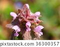 紫色死荨麻 唇形科象草 花朵 36300357