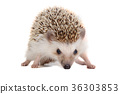Little hedgehog. 36303853