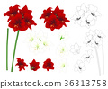 Red and White Amaryllis Outline 36313758