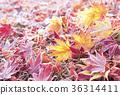 나뭇잎, 낙엽, 단풍 36314411