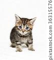 小貓 貓咪 貓 36315576