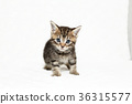 小貓 貓咪 貓 36315577