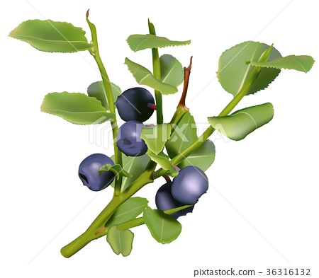 Blueberry Plant 36316132