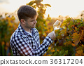 wine, vineyard, man 36317204