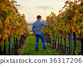 vineyard, man, winery 36317206
