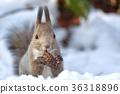松鼠 日本北海道松鼠 松鼠常見的東 36318896