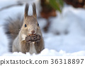 松鼠 北海道松鼠 日本北海道松鼠 36318897