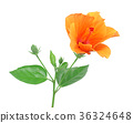 hibiscus flower isolated on a pure white 36324648