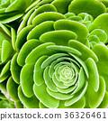 succulent plant 36326461