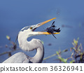 Great Blue Heron with a fish 36326941