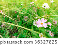 大波斯菊 高知县 花朵 36327825