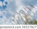 kochi prefecture, silver grass, zebra grass 36327827