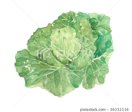 cabbage, cabbages, oleracea 36332116