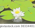 수련, 수련꽃, 꽃 36334401