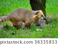 Cute coati (Nasua) 36335833