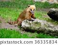 coati, animal, nasua 36335834