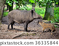 Wild boar family, mother with little piglet 36335844