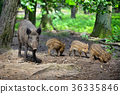 Wild boar family with striped piglets 36335846
