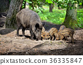 Wild boar family with striped piglets 36335847