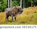 北美野牛 野生生物 動物 36336175