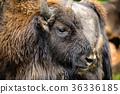 北美野牛 動物 眼睛 36336185