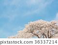 櫻花 櫻 賞櫻 36337214