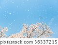 櫻花 櫻 賞櫻 36337215