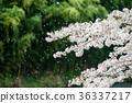 櫻花 櫻 賞櫻 36337217