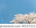 櫻花 櫻 賞櫻 36337221