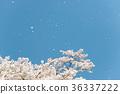 櫻花 櫻 賞櫻 36337222