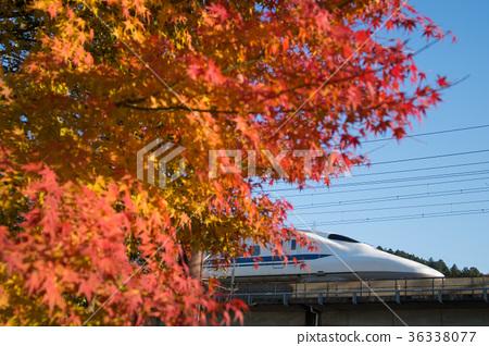 已經開始著色的700系列新幹線和Momiji 36338077