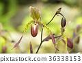 兜兰 兰花 花朵 36338153