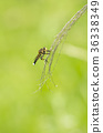 horsefly, promachus, yesonicu 36338349