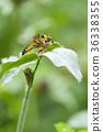 强盗飞 马蝇 虫子 36338355