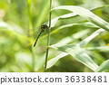 西博爾德的蜻蜓 蜓科 蜻蜓 36338481
