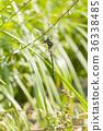 西博爾德的蜻蜓 蜓科 蜻蜓 36338485