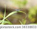 春蜓科 蜻蜓 虫子 36338633