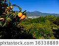 橘子 桔子 蜜柑 36338889