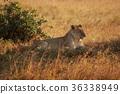 肯尼亞 馬賽馬拉 獅子 36338949