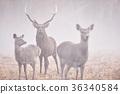 日本鹿 鹿 蝦夷鹿 36340584